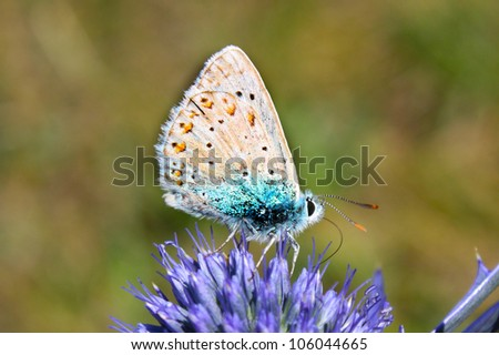 Common Blue Butterfly - Polyommatus icarus on Marjoram - stock photo