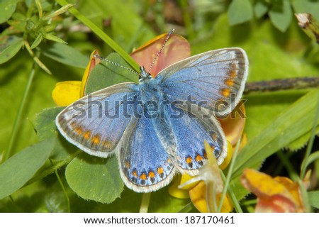 Common Blue Butterfly - Polyommatus icarus Rare blue form of female - stock photo