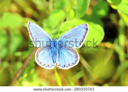 Common Blue butterfly (Polyommatus sp.). - stock photo