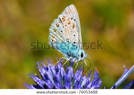 Common Blue Butterfly - Silver-studded Blue (Plebejus argus) butterfly - stock photo
