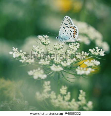 Common Blue Butterfly sitting on a blossom in a meadow. - stock photo