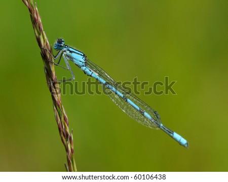 Common Blue Damselfly (Enallagma cyathigerum) - stock photo