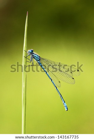 Common Blue Damselfly on a blade of grass