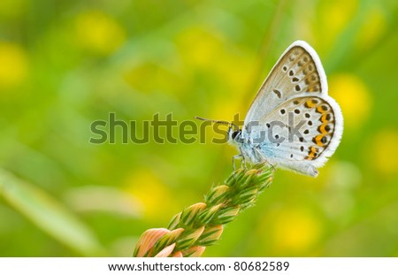 Common Blue (Polyommatus icarus) butterfly on a wild flowers - stock photo