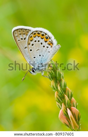 Common Blue (Polyommatus icarus) butterfly on a wild flowers (vertical frame). - stock photo