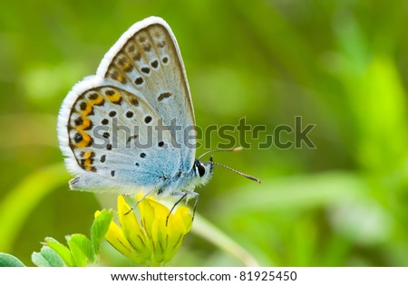 Common Blue (Polyommatus icarus) butterfly on a wild yellow flowers - stock photo