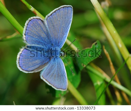 Common blue ( Polyommatus icarus) male on a green background - stock photo