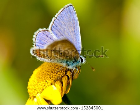Common Blue  (Polyommatus icarus) on a yellow flower with open wings - stock photo