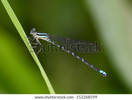 Common Bluetail Damselfly perched on a grass leaf