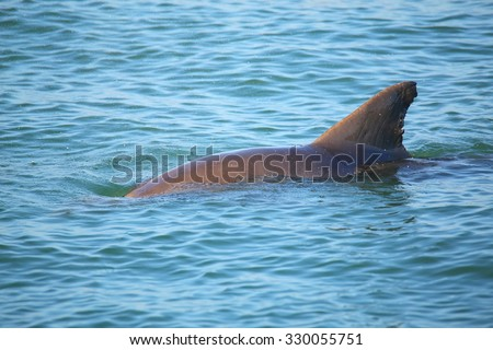 Common bottlenose dolphin showing dorsal fin near Sanibel island in Florida