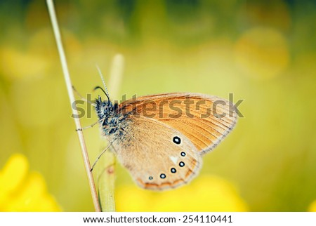 Common brown butterfly - stock photo