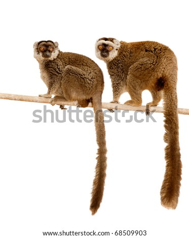 Common Brown Lemur (Eulemur fulvus) - stock photo
