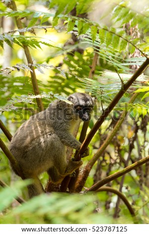 Common brown lemur (Eulemur fulvus)in top of the tree, Andasibe - Analamazaotra National Park, Madagascar wildlife