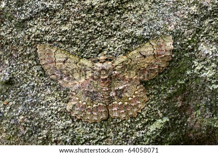Common Brown Looper Moth, Hypodoxa muscosaria, Australian Geometridae, moth at rest camouflaged on lichen covered sandstone, wingspan 40mm - stock photo