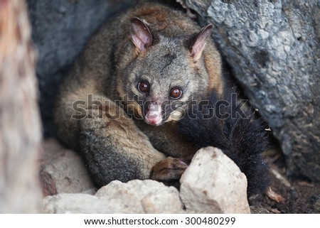 Common Brushtail Possum (Trichosurus vulpecula) sheltering in a hollow tree during a cold winter day, Tasmania - stock photo