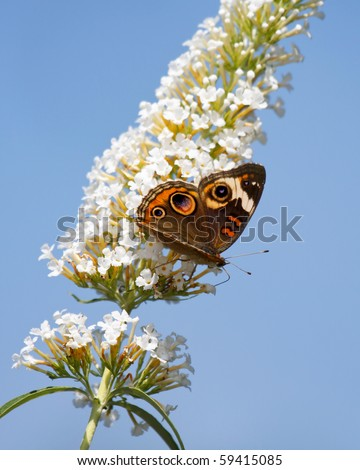 common buckeye butterfly feeds on a white butterfly bush; sky blue background - stock photo