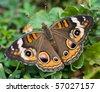 Common Buckeye Butterfly (Junonia coenia). - stock photo