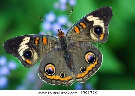 Common Buckeye Butterfly on Flowers - stock photo
