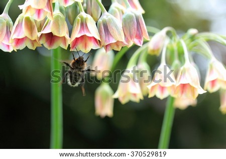 Common bumblebee in flight pollinating Meditranean Bells (Allium siculum) - stock photo