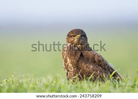 Common buzzard and green grass field - stock photo