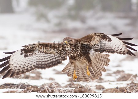 Common buzzard in flight on cold winter with white snow background - stock photo