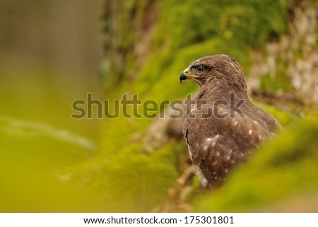 Common Buzzard in green nature moss and trees