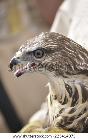 Common buzzard wounded in the hands of a veterinarian.