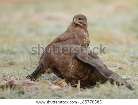 Common buzzards eating meat - stock photo