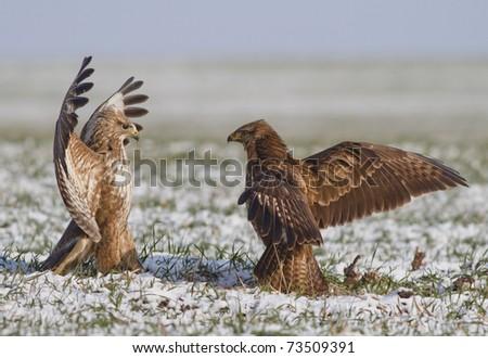 Common buzzards fight - stock photo