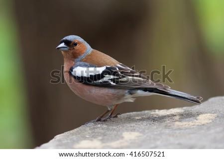 Common chaffinch bird on the stone. Fringilla coelebs, male. Soft focus - stock photo