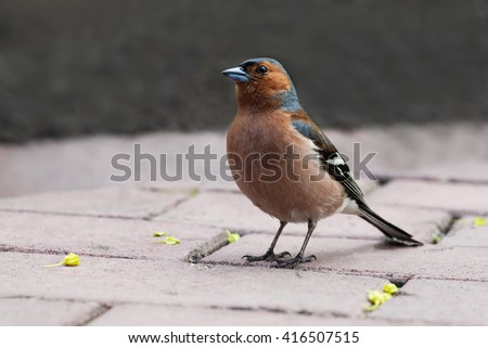 Common chaffinch bird on the stone tiles. Fringilla coelebs, male. Soft focus, shallow depth of field - stock photo