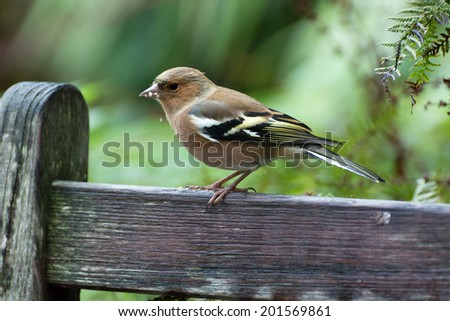 Common Chaffinch close-up - stock photo