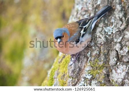 Common Chaffinch (Fringilla coelebs) - stock photo