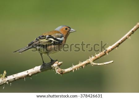 Common Chaffinch (Fringilla coelebs) perched on bramble.