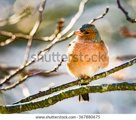 Common chaffinch (Fringilla coelebs) sitting on the twig of a tree