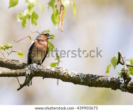 Common chaffinch (Fringilla coelebs) sitting on the twig of a tree - stock photo