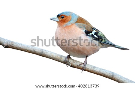 Common chaffinch  on the branch isolated on white (Fringilla coelebs) - stock photo