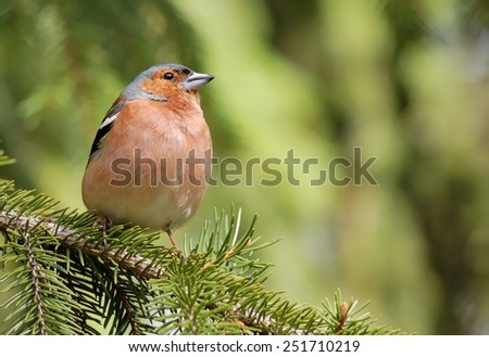 Common chaffinch on the pine - stock photo