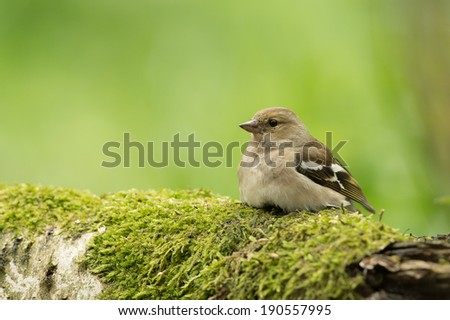 common chaffinch takes some rest - stock photo