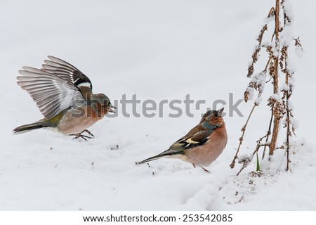 Common chaffinches (male) in heavy winter looking for food - stock photo