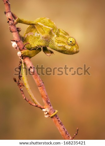 Common Chameleon (Chamaeleo chamaeleon) - stock photo