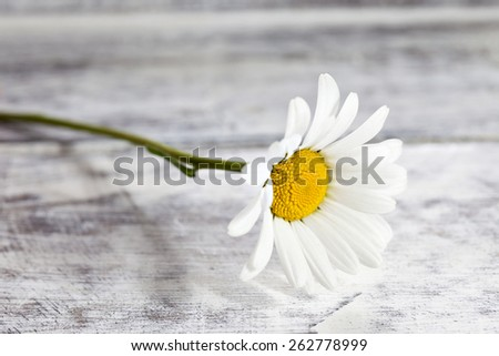 Common chamomile flowers on wooden table - stock photo