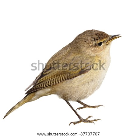 Common Chiffchaff isolated on white background phylloscopus collybita