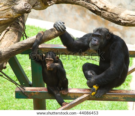 Common chimpanzee, Pan troglodytes,  dad and son sitting on structure in zoo - stock photo