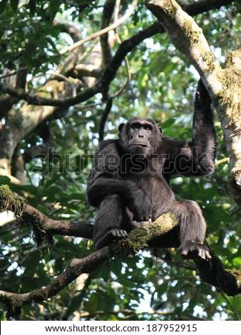 Common Chimpanzee - Scientific name: Pan troglodytes Face Portrait en profil at Kibale Forest National Park, Rwenzori Mountains, Uganda, Africa - stock photo