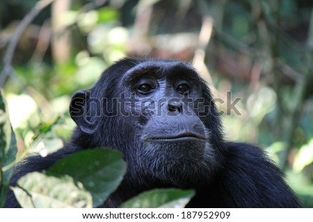 Common Chimpanzee - Scientific name: Pan troglodytes portrait at Kibale Forest National Park, Rwenzori Mountains, Uganda, Africa - stock photo