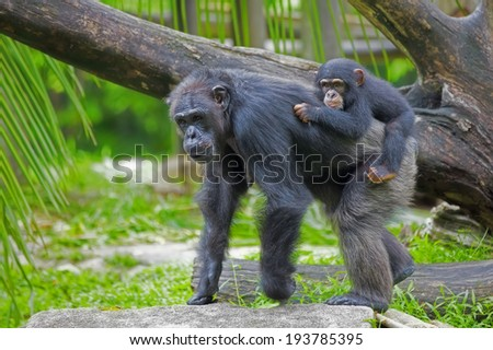 Common Chimpanzee with her child in the wild - stock photo