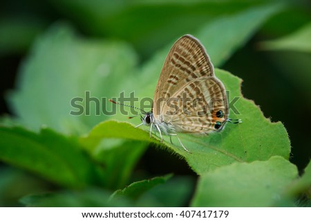 Common Ciliate Blue,Butterfly,  insect, animal, nature,macro,bug. - stock photo