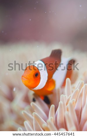 Common Clownfish - stock photo
