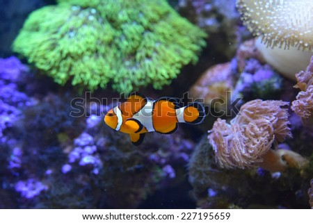 Common Clownfish, Amphiprion ocellaris - stock photo
